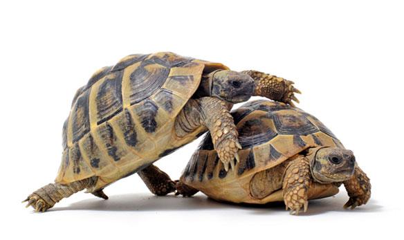 צבים מזדווגים